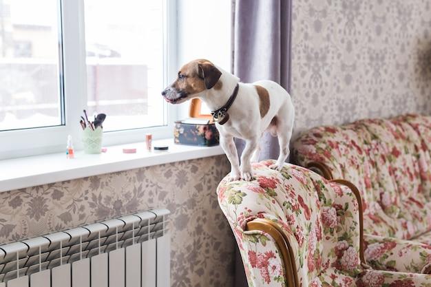 Cane carino jack russell terrier al chiuso