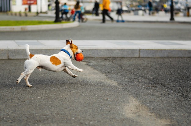 Il simpatico cane jack russell terrier corre con la palla giocattolo arancione sulla strada.
