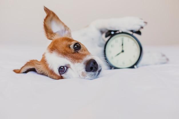 Simpatico cane sdraiato sul letto con una sveglia impostata alle 8 del mattino. mattina e sveglia il concetto a casa.