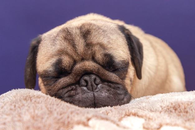 Carlino cane sveglio che dorme sul letto