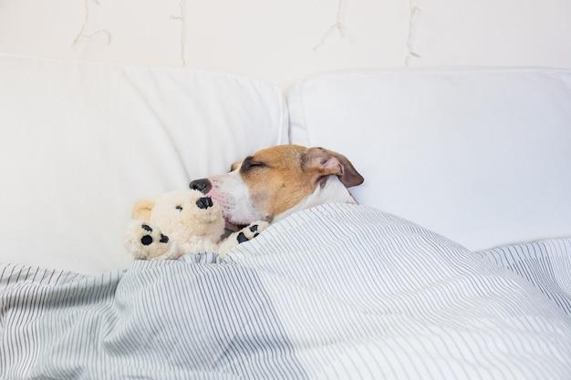 Simpatico cane che dorme nel letto con un soffice orso giocattolo. cucciolo di staffordshire terrier che riposa nella camera da letto bianca pulita a casa