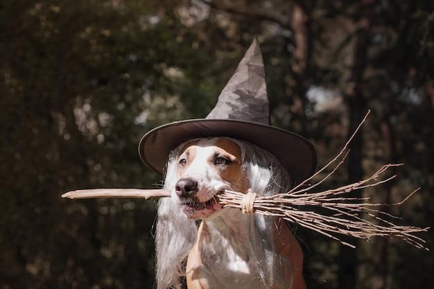 Cane sveglio in cappello della strega che tiene il manico di scopa. ritratto di bellissimo cucciolo di staffordshire terrier in costume di halloween con la scopa della strega nella foresta di autunno