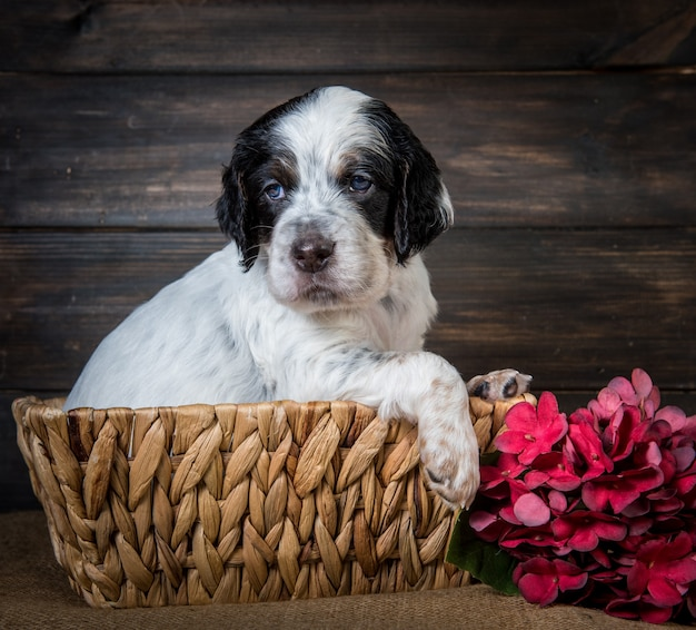 Simpatico cucciolo di cane setter inglese con gli occhi azzurri.