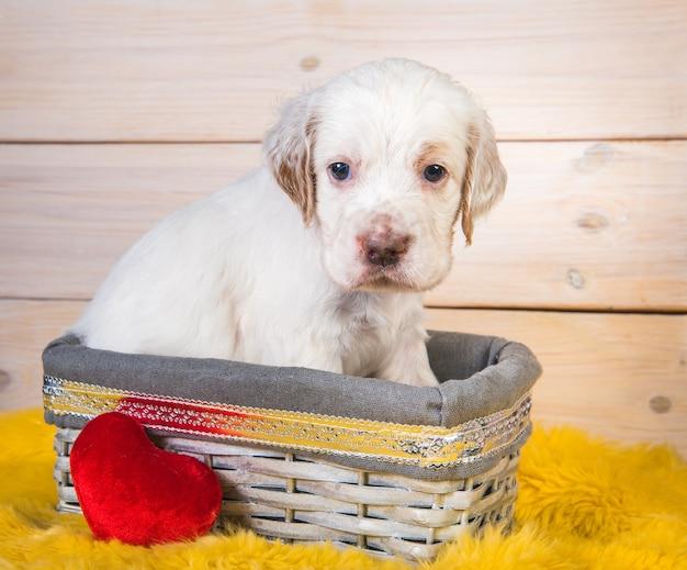 Simpatico cucciolo di cane setter inglese in un cestino di legno.