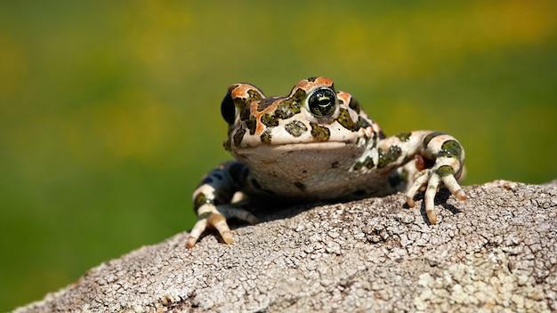 Rospo verde europeo sveglio che dà una occhiata fuori con le gambe e le dita sul ramo.