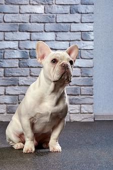 Un simpatico bulldog francese color fulvo