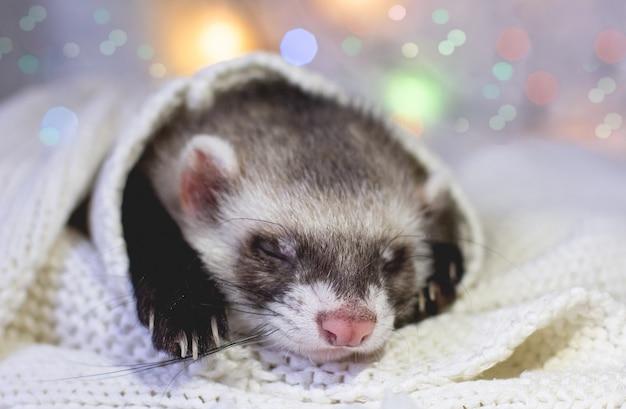 Furetto sveglio che dorme, adorabile animale domestico invernale