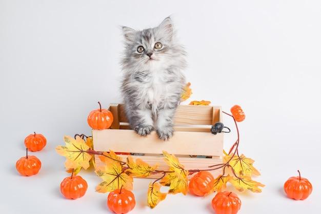 Un simpatico gattino grigio lanuginoso è seduto in una scatola di legno accanto alle zucche buon halloween
