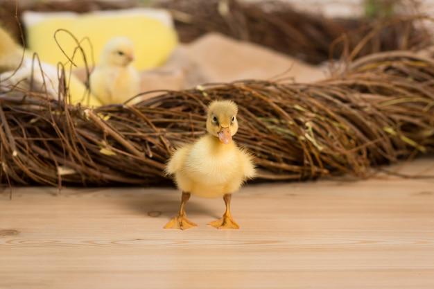 Simpatici anatroccoli e polli soffici di pasqua stanno camminando vicino al nido.