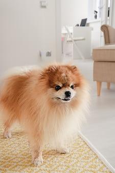 Carino soffice cane spitz di pomerania con la bocca aperta in piedi su un tappeto giallo sul pavimento