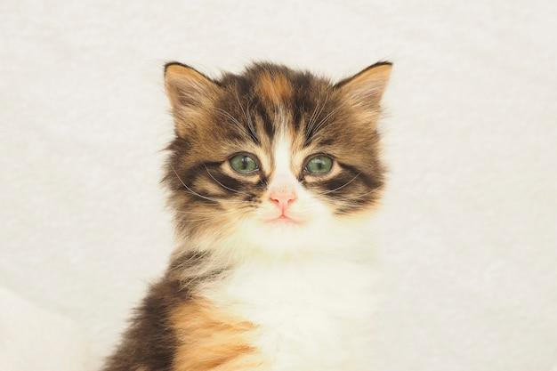 Gattino tricolore lanuginoso sveglio con gli occhi verdi su sfondo bianco. copia spazio.