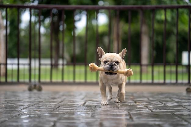 Simpatico bulldog francese in esecuzione con rawhide bone sotto la pioggia.