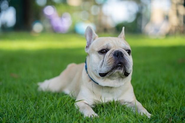 Bulldog francese sveglio che si siede nel giardino