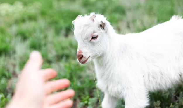 Capra bianca amichevole sveglia del bambino nell'erba verde del prato.