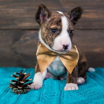 Simpatico cucciolo di cane basenji tigrato divertente è seduto con grande fiocco dorato e cono di abete.
