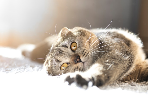 Un simpatico gatto divertente giace su un soffice tappeto in casa sotto i raggi del sole