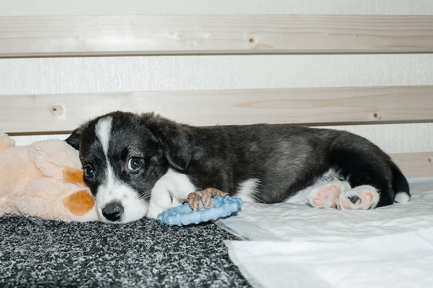 Il simpatico e simpatico cucciolo di corgi, a casa