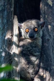 Lemure peloso carino in natura