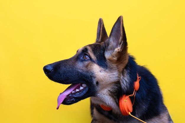 Un simpatico cucciolo di pastore tedesco in cuffia isolato su sfondo giallo