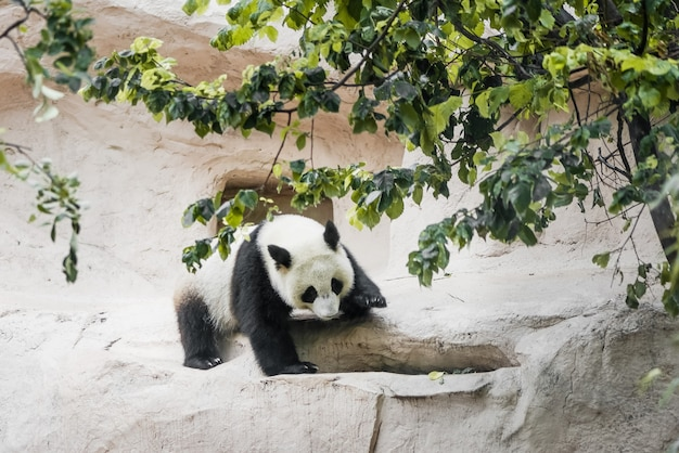 Simpatico cucciolo di panda gigante si arrampica sul muro di pietra