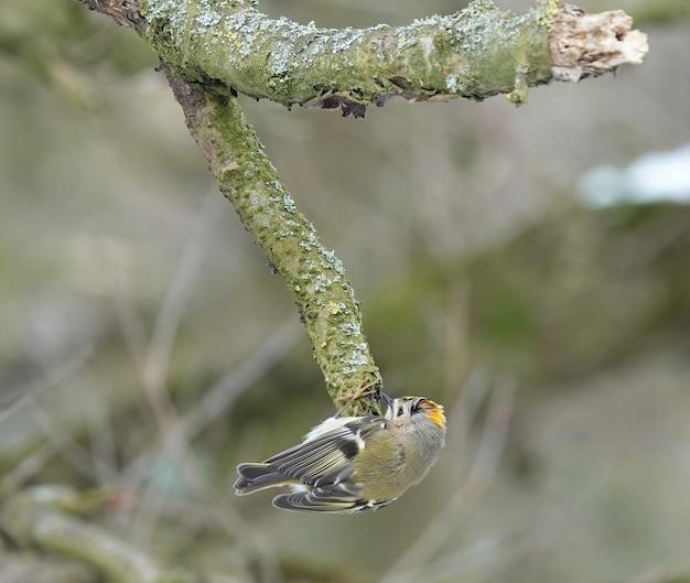 Simpatico uccello goldcrest che raccoglie il legno su un ramo di un albero muschioso a forma di v