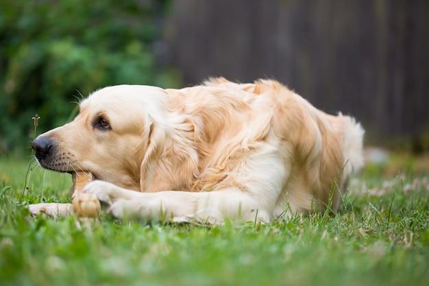 Il simpatico golden retriever che gioca / mangia con l'osso consiste in una pelle di maiale nell'enorme giardino, che sembra felice