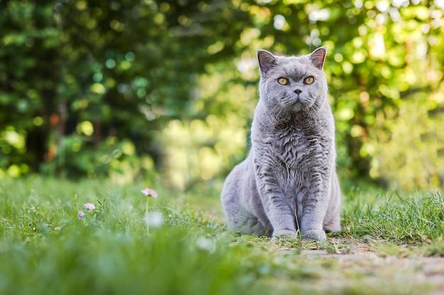 Simpatico gatto grigio con occhi gialli su sfondo verde scozzese dritto