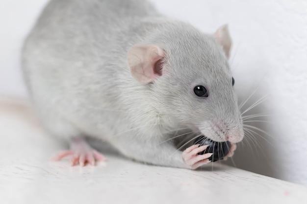 Un simpatico ratto decorativo grigio mangia mirtilli deliziosi e succosi. primo piano del roditore.