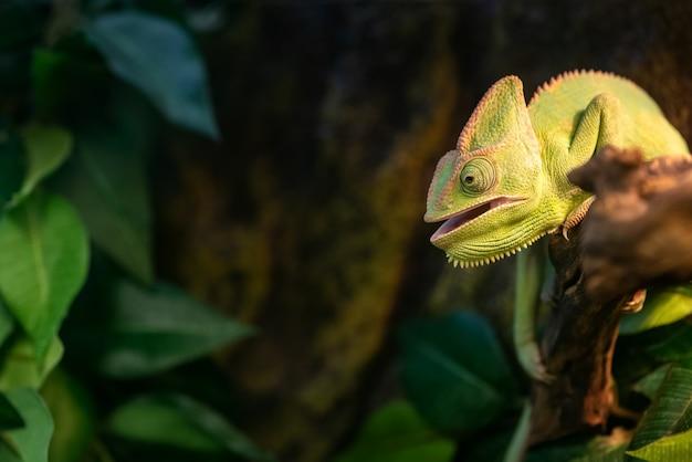 Simpatico camaleonte verde con la bocca aperta si siede sul ramo