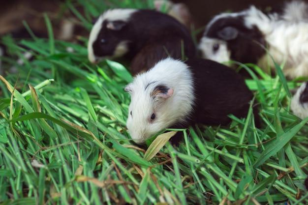 Carino porcellino d'india, mangiare erba. Foto Premium