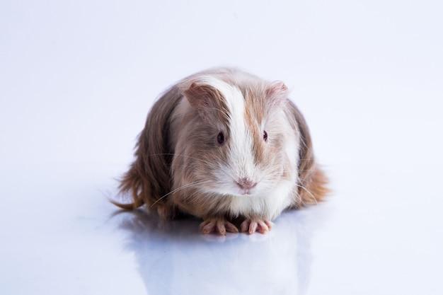 Carino cavia porcellino d'india silkie lilla tipo sfondo bianco Foto Premium