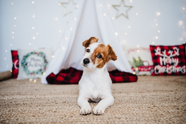 Cane carino jack russell a casa in piedi con decorazioni natalizie. periodo natalizio
