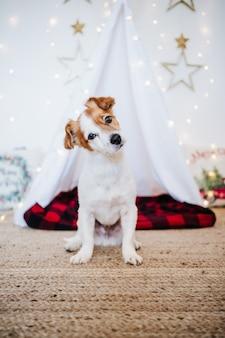 Simpatico cane jack russell a casa con decorazioni natalizie. periodo natalizio