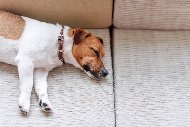 Simpatico cane jack russell che dorme sul divano, cane che riposa o che fa una siesta, sognare ad occhi aperti