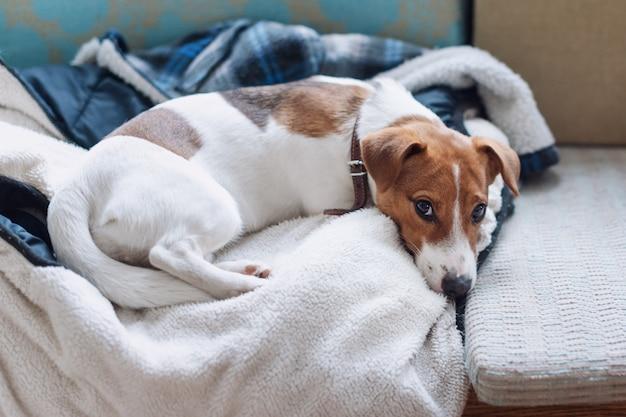 Simpatico cane jack russell che dorme sulla giacca calda del suo proprietario, cane che riposa o fa una siesta, sognando ad occhi aperti.