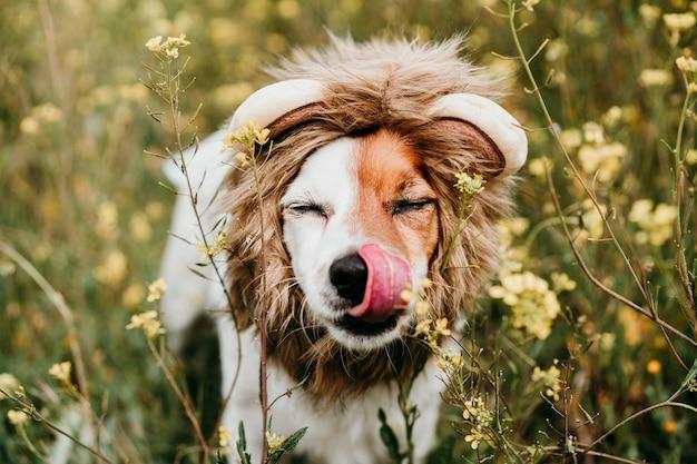 Simpatico cane jack russell che indossa un costume da leone sulla testa. cane felice che lecca il naso con la lingua all'aperto in natura nel prato di fiori gialli. primavera soleggiata