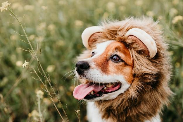 Simpatico cane jack russell che indossa un costume da leone sulla testa. cane felice all'aperto in natura nel prato di fiori gialli. primavera soleggiata