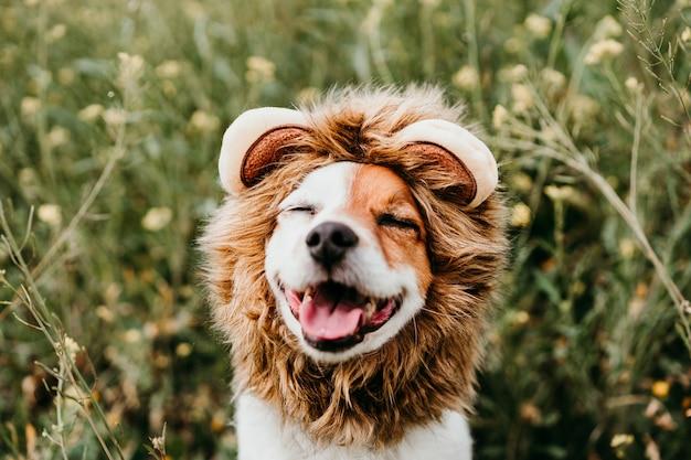 Simpatico cane jack russell che indossa un costume da leone sulla testa con gli occhi chiusi. cane felice all'aperto in natura nel prato di fiori gialli. primavera soleggiata