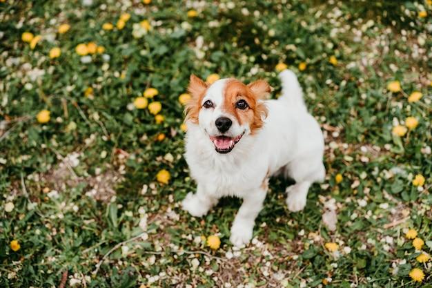 Simpatico cane jack russell con fiore giallo sulla testa. cane felice all'aperto in natura nel parco di fiori gialli. primavera soleggiata