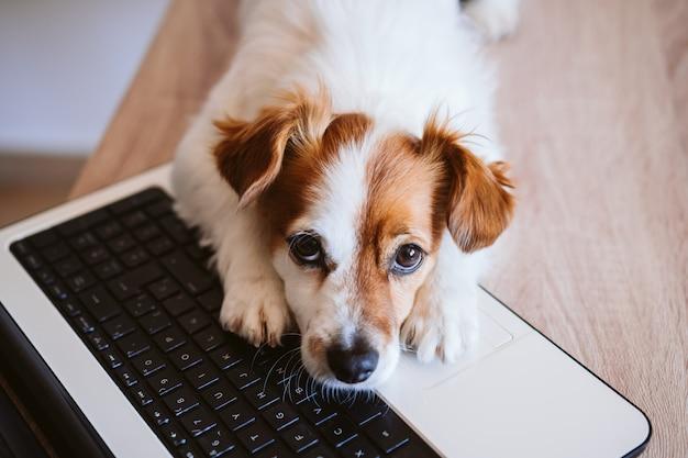 Cane sveglio di jack russell che lavora al computer portatile a casa. stare a casa. tecnologia e concetto di interni. vista dall'alto