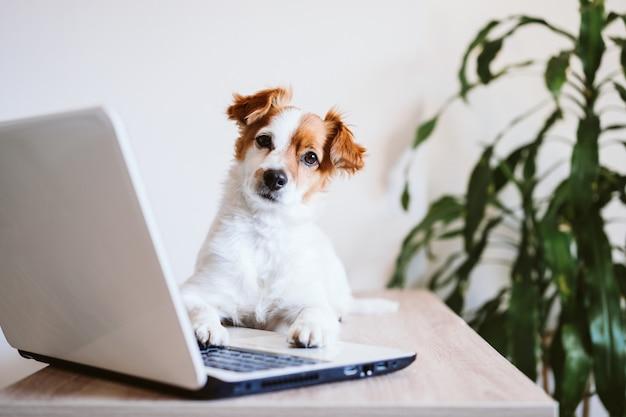 Cane sveglio di jack russell che lavora al computer portatile a casa. stare a casa. tecnologia e concetto di interni