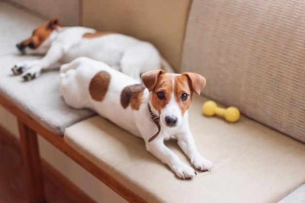 Simpatici cani jack russell che dormono e riposano sul divano, cane che ha una siesta, fantasticando.