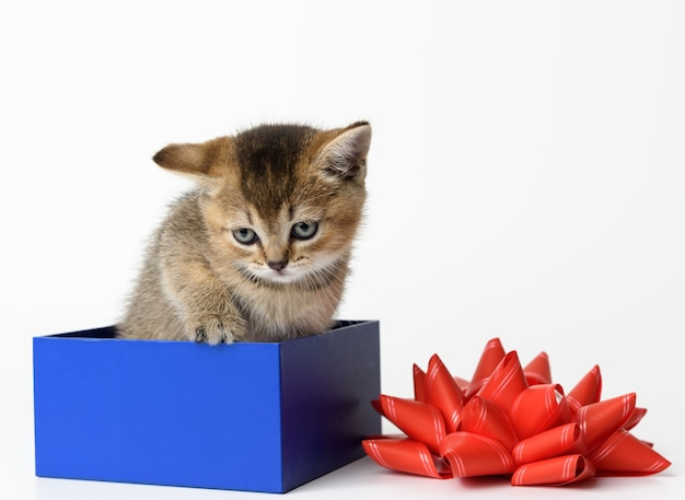 Gattino sveglio del cincillà dorato scozzese di razza dritto si siede in una scatola regalo blu, sfondo bianco