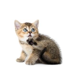 Gattino sveglio del cincillà dorato scozzese di razza si siede dritto