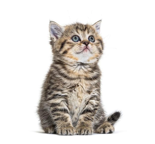 Gattino sveglio british shorthair, isolato su bianco