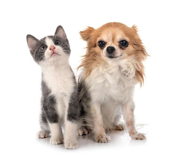 Gattino sveglio e cane chihuahua