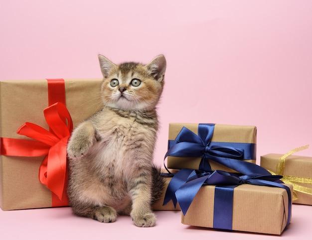 La razza diritta del cincillà dorato scozzese sveglio del gattino si siede su uno sfondo rosa e scatole con regali, sfondo festivo