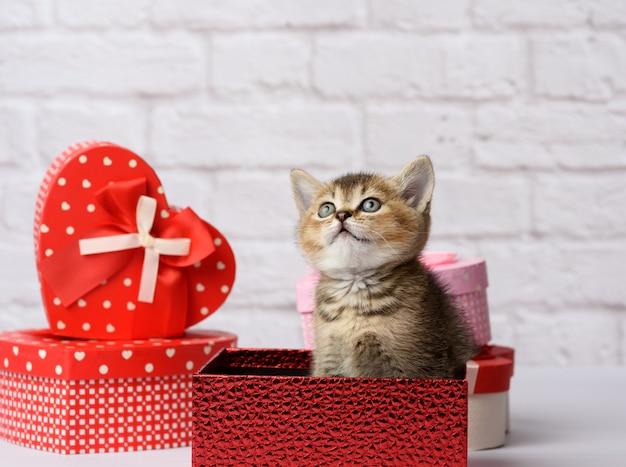 La razza diritta del cincillà dorato scozzese sveglio del gattino si siede su una priorità bassa bianca e sulle scatole con i regali, priorità bassa festiva