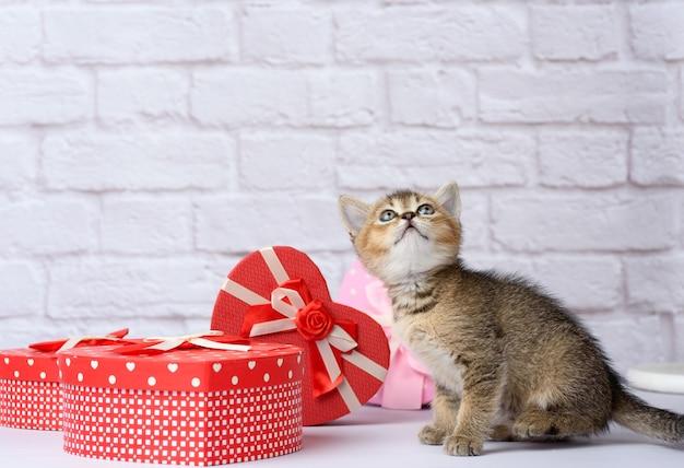 Razza diritta di cincillà dorato scozzese carino gattino su sfondo bianco e scatole con doni, sfondo festivo