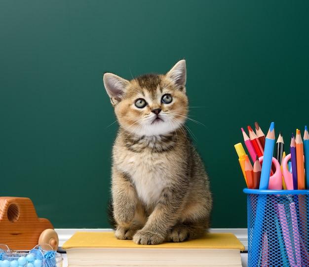 Carino gattino scozzese cincillà dorato dritto seduto su un libro giallo su uno sfondo di lavagna verde e cancelleria, torna a scuola